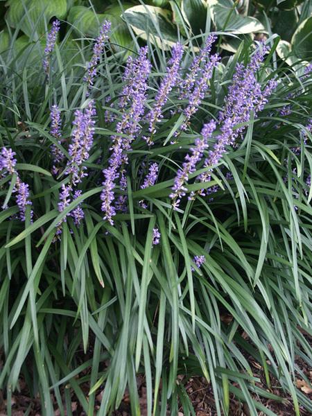22 Sandy Soil Perennials For Shade Liriope Big Blue #Liriope #BigBlue #lilyturf #Perennials #ShadeLoving #ShadeLover #SandySoil #SandySoilPerennials #DroughtResistant #DroughtTolerant #Gardening #Landscape #BluestonePerennials #ShadeTolerant #FootTrafficTolerant #Evergreen #DryShadeTolerant #Zone8 #Zone9 #Zone10