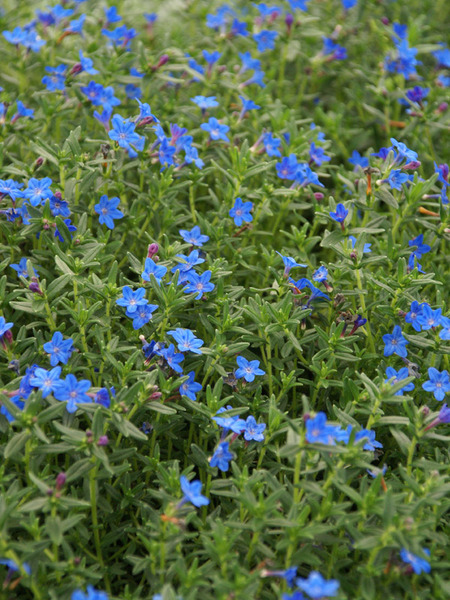 30 Rock Garden Plants That Perform Like Rock Stars Lithodora Grace Ward #RockGardens #Lithodora #GraceWard #GroundCover #DeerResistant #Evergreen #GroundCover #FallisForPlanting #Garden #ContainerGardening #Landscape #Organic #BluestonePerennials