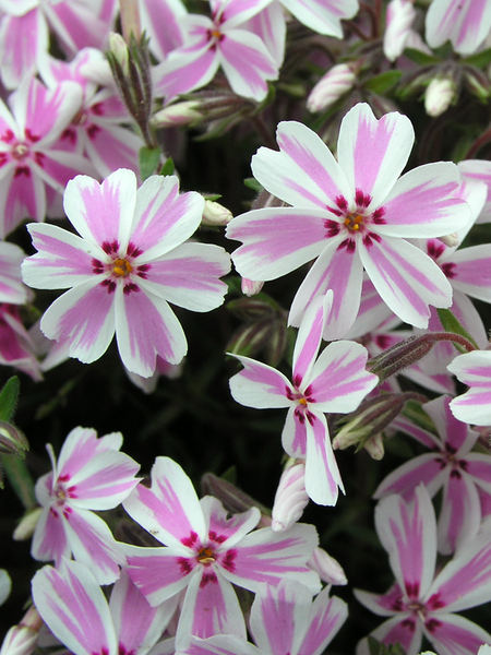 50 Sandy Soil Perennials That Like Sun Phlox Candy Stripe #CandyStripePhlox #CreepingPhlox #Phlox #SandySoil #SandySoilGardening #Gardening #Landscaping #SandySoilPerennials