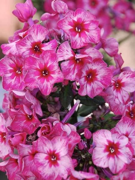 50 Sandy Soil Perennials That Like Sun Phlox Fireworks #FireworksPhlox #GardenPhlox #PhloxFireworks #SandySoil #SandySoilGardening #Gardening #Landscaping #SandySoilPerennials