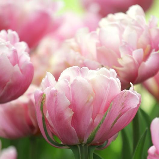 Early Season Garden color Pink Star Tulip #Tulip #Spring #SpringBulbs #PlantSpringBulbs #FallisForPlanting #SpringGarden #Garden