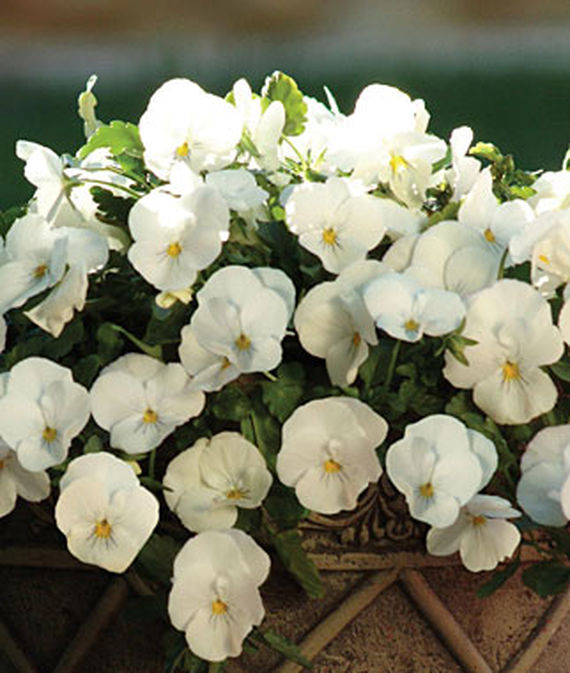 8 Fantastic Annuals to Plant this Fall Plentifall White Spreading Pansy #FallGarden #FallPlanting #Annuals #FallIsForPlanting #Gardening #FallColors