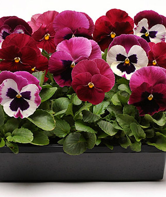 8 Fantastic Annuals to Plant this Fall Ruby Mix Pansy #FallGarden #FallPlanting #Annuals #FallIsForPlanting #Gardening #FallColors