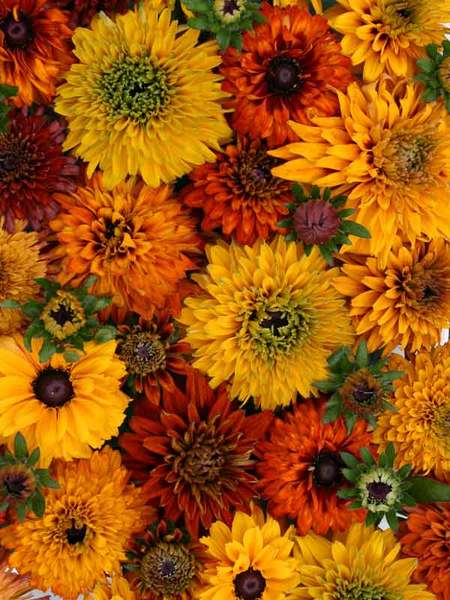 50 Sandy Soil Perennials That Like Sun Rudbeckia Moroccan Sun #Rudbeckia #RudbeckiaMoroccanSun #GloriosaDaisy #SandySoil #SandySoilGardening #Gardening #Landscaping #SandySoilPerennials