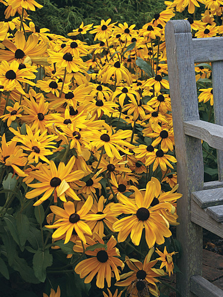 50 Sandy Soil Perennials That Like Sun Rudbeckia Indian Summer #GloriosaDaisy #Rudbeckia #RudbeckiaIndianSummer #SandySoil #SandySoilGardening #Gardening #Landscaping #SandySoilPerennials