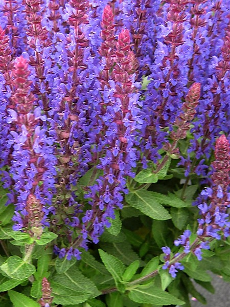 50 Sandy Soil Perennials That Like Sun Salvia Sensation Deep Blue #Salvia #SalviaDeepBlue #MeadowSage #SandySoil #SandySoilGardening #Gardening #Landscaping #SandySoilPerennials
