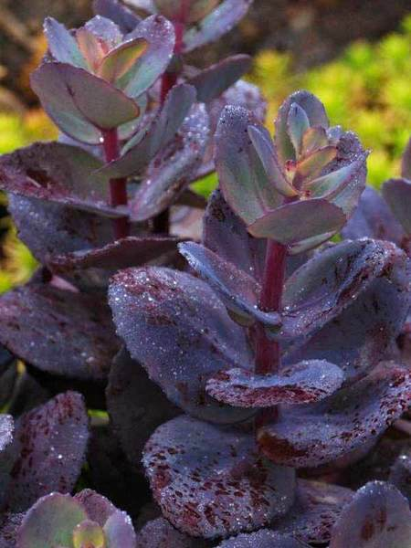 50 Sandy Soil Perennials That Like Sun Sedum Blue Pearl #Sedum #BluePearl #SedumBluePearl #Stonecrop #SandySoil #SandySoilGardening #Gardening #Landscaping #SandySoilPerennials