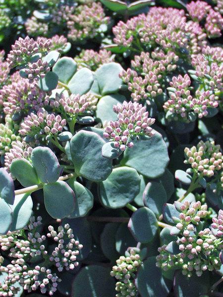 22 Sandy Soil Perennials For Shade Sedum Sieboldi Or Stonecrop #Sedum #Stonecrop #SedumSieboldi #Perennials #ShadeLoving #ShadeLover #SandySoil #SandySoilPerennials #DroughtResistant #DroughtTolerant #Gardening #Landscape #BluestonePerennials #RabbitResistant #AttractsButterflies #ButterflyLover