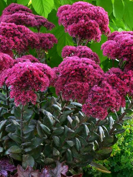50 Sandy Soil Perennials That Like Sun Sedum Thunderhead #Sedum #SedumThunderhead #Stonecrop #SandySoil #SandySoilGardening #Gardening #Landscaping #SandySoilPerennials
