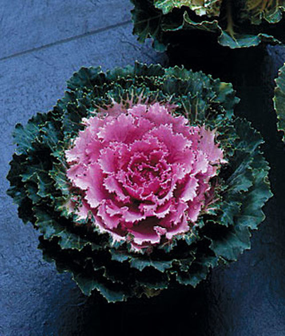 8 Fantastic Annuals to Plant this Fall Song Bird Pink Flowering Kale #FallGarden #FallPlanting #Annuals #FallIsForPlanting #Gardening #FallColors