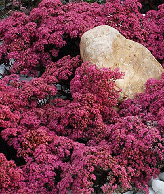 30 Rock Garden Plants That Perform Like Rock Stars Sunsparkler Dazzleberry Sedum Or Stonecrop #RockGardens #Sedum #StoneCrop #SedumSunsparklerDazzleberry #GroundCover #DeerResistant #RabbitResistant #FallisForPlanting #HeatTolerant #DroughtTolerant #CutFlowers #Garden #ContainerGardening #Landscape #Organic #Burpee