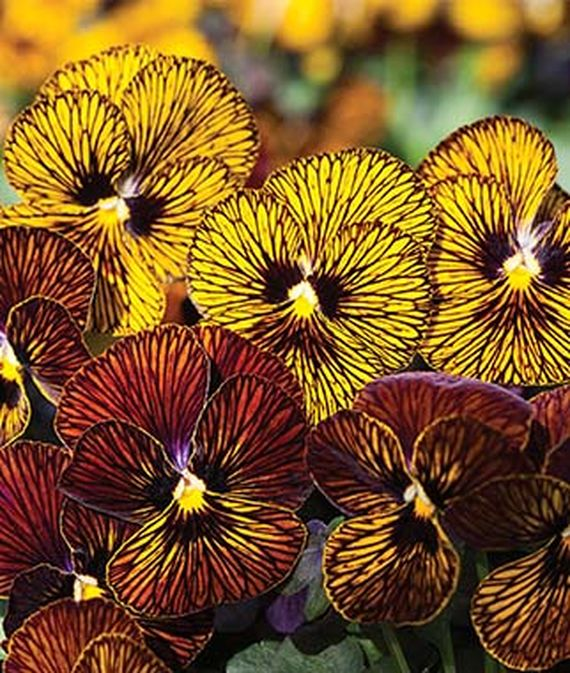 8 Fantastic Annuals to Plant this Fall Tiger Eye Mix Viola #FallAnnuals #FallGarden #FallPlanting #Annuals #FallIsForPlanting #Gardening #FallColors