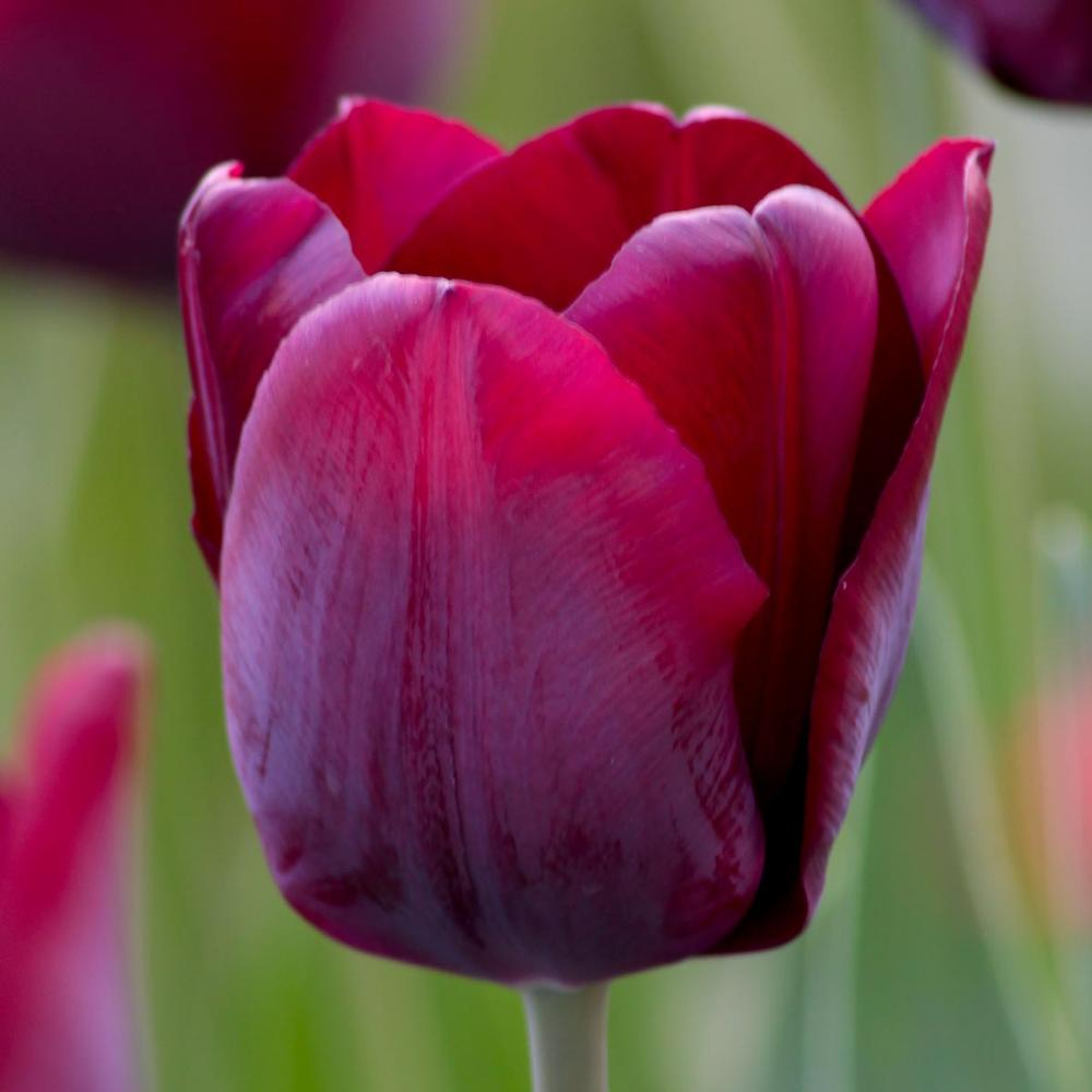 28 Spring Blooming Tulips Triumph Ronaldo Tulip #RonaldoTulip #LongfieldGardens #Tulip #Spring #SpringBulbs #PlantSpringBulbs #FallisForPlanting #WhiteFlowerFarm #SpringGarden #Garden #Landscape #Organic