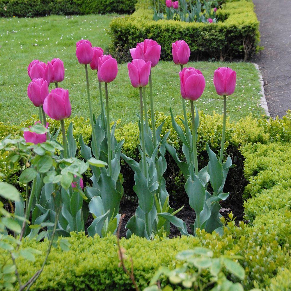 28 Spring Blooming Tulips Barcelona Tulip #Tulips #Spring #SpringBulbs #BulbPlanting #FallPlanting #Gardening #FallisForPlanting