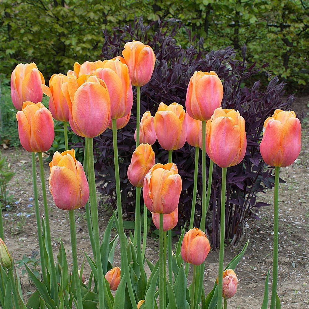 Early Season Garden Color Dordogne Tulip #Tulip #Spring #SpringBulbs #PlantSpringBulbs #FallisForPlanting #SpringGarden #Garden
