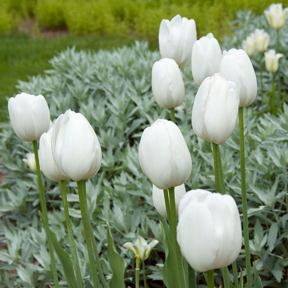 28 Spring Blooming Tulips Maureen Tulip #Tulips #Spring #SpringBulbs #BulbPlanting #FallPlanting #Gardening #FallisForPlanting