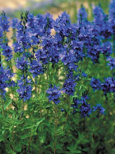 50 Sandy Soil Perennials That Like Sun Veronica Crater Lake Blue or Speedwell #Veronica #CraterLakeBlueVeronica #Speedwell #Perennials #SunLoving #SunLover #SandySoil #Gardening #Landscape #BluestonePerennials #HummingbirdLover #ButterflyLover