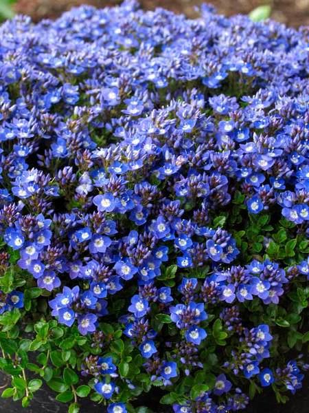 22 Sandy Soil Perennials For Shade Veronica Liwanensis Or Speedwell #Speedwell #Veronica #VeronicaLiwanensis #HumidityTolerant #Perennials #ShadeLoving #ShadeLover #SandySoil #SandySoilPerennials #DroughtResistant #DroughtTolerant #Gardening #Landscape #BluestonePerennials #DeerResistant #RabbitResistant #AttractsHummingbirds #HummingbirdLover #AttractsButterflies #ButterflyLover #ShadeTolerant #Evergreen