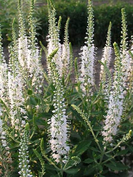 50 Sandy Soil Perennials That Like Sun Veronica Icicle #Veronica #VeronicaIcicle #Speedwell #Perennials #SunLoving #SunLover #SandySoil #Gardening #Landscape #BluestonePerennials #HummingbirdLover #ButterflyLover