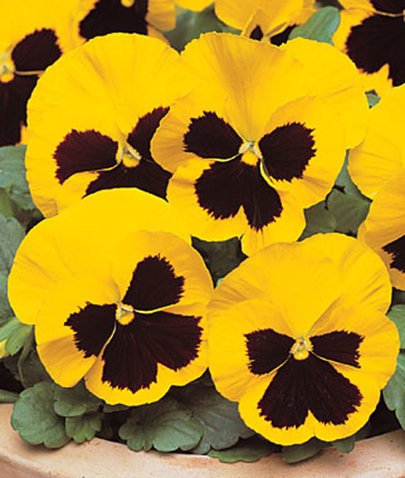 8 Fantastic Annuals to Plant this Fall Yellow Blotch Pansy #FallGarden #FallPlanting #Annuals #FallIsForPlanting #Gardening #FallColors
