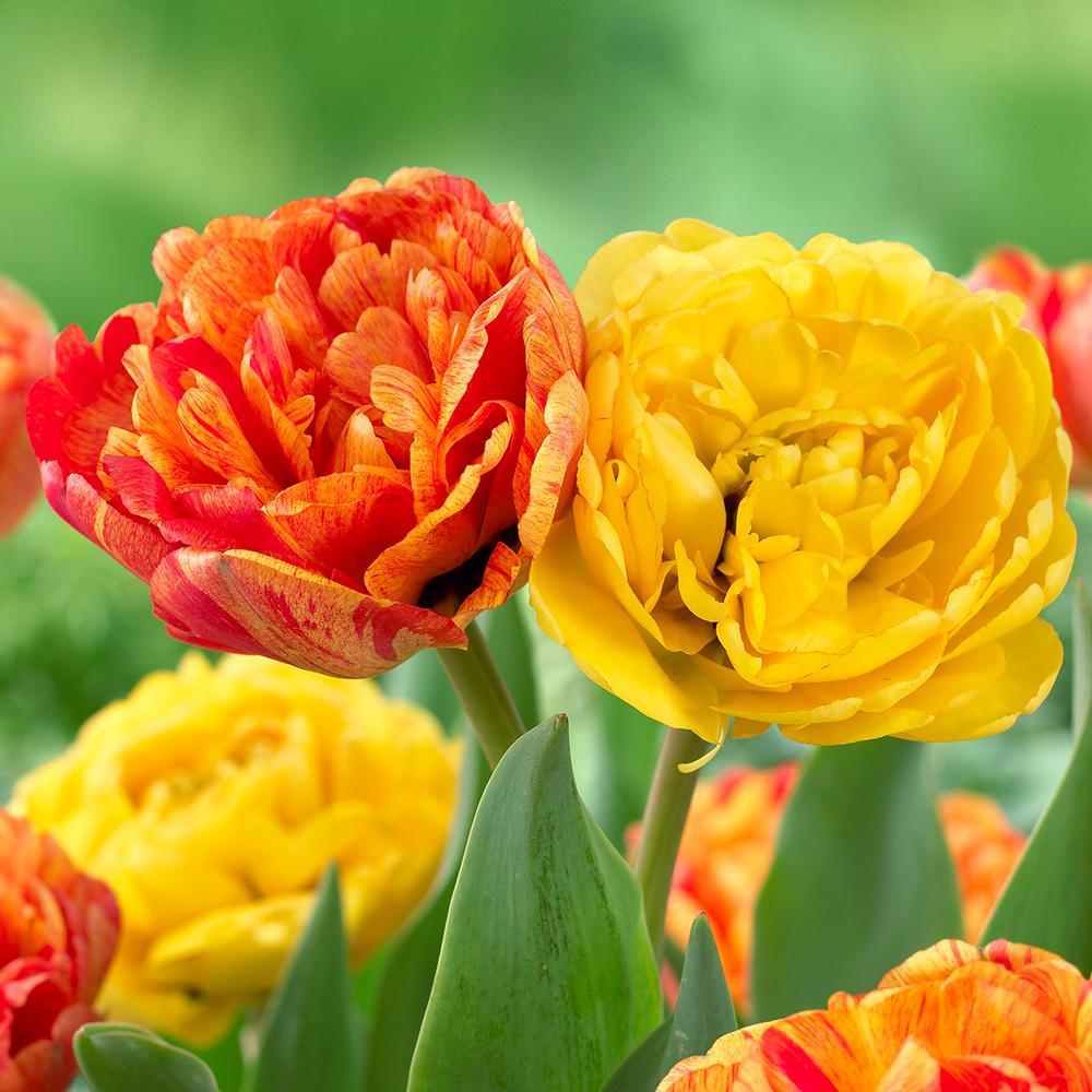 28 Spring Blooming Tulips - Yellow Pompenette Tulip and Sun Lover Tulip #YellowPompenetteTulip #SunLoverTulip #LongviewGardens #Tulip #Spring #SpringBulbs #PlantSpringBulbs #FallisForPlanting #WhiteFlowerFarm #SpringGarden #Garden #Landscape #Organic