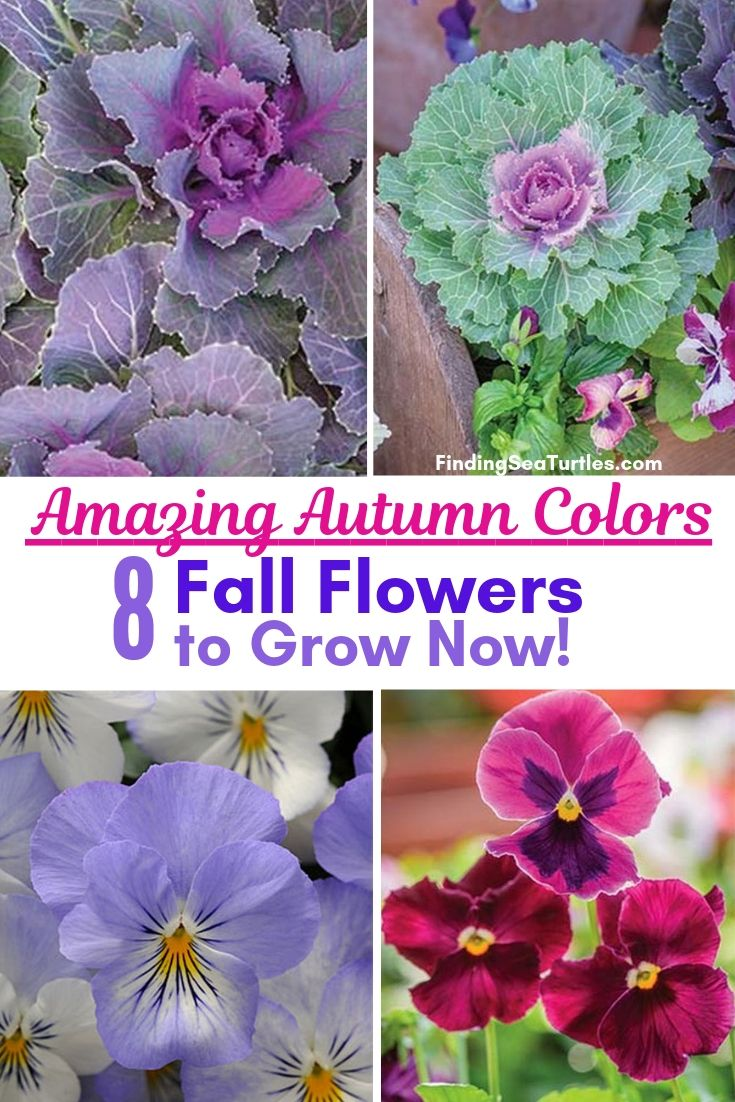 Amazing Autumn Colors 8 Fall Flowers To Grow Now! #Annuals #FallPlanting #FallIsForPlanting #FestivalFallColor #Gardening #Landscape #Organic #Garden
