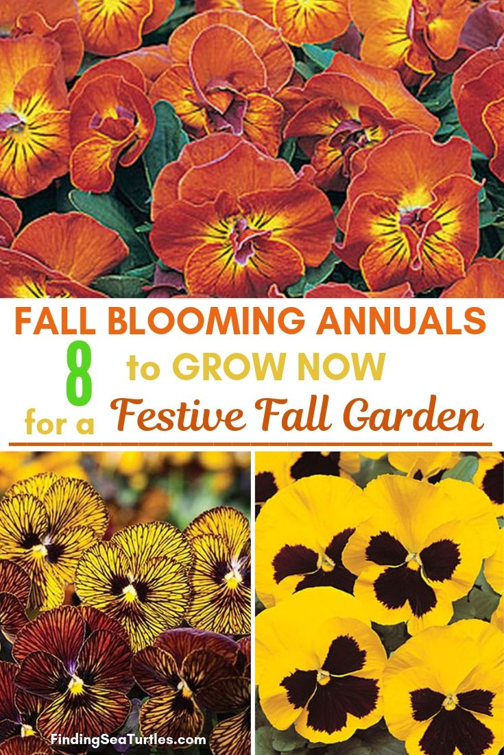 Fall Blooming Annuals 8 To Grow Now For Festive Fall Garden #Annuals #FallPlanting #FallIsForPlanting #FestivalFallColor #Gardening #Landscape #Organic #Garden