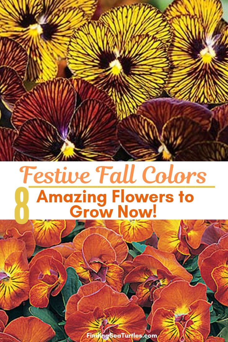 Festive Fall Colors 8 Amazing Flowers To Grow Now! #Annuals #FallPlanting #FallIsForPlanting #FestivalFallColor #Gardening #Landscape #Organic #Garden