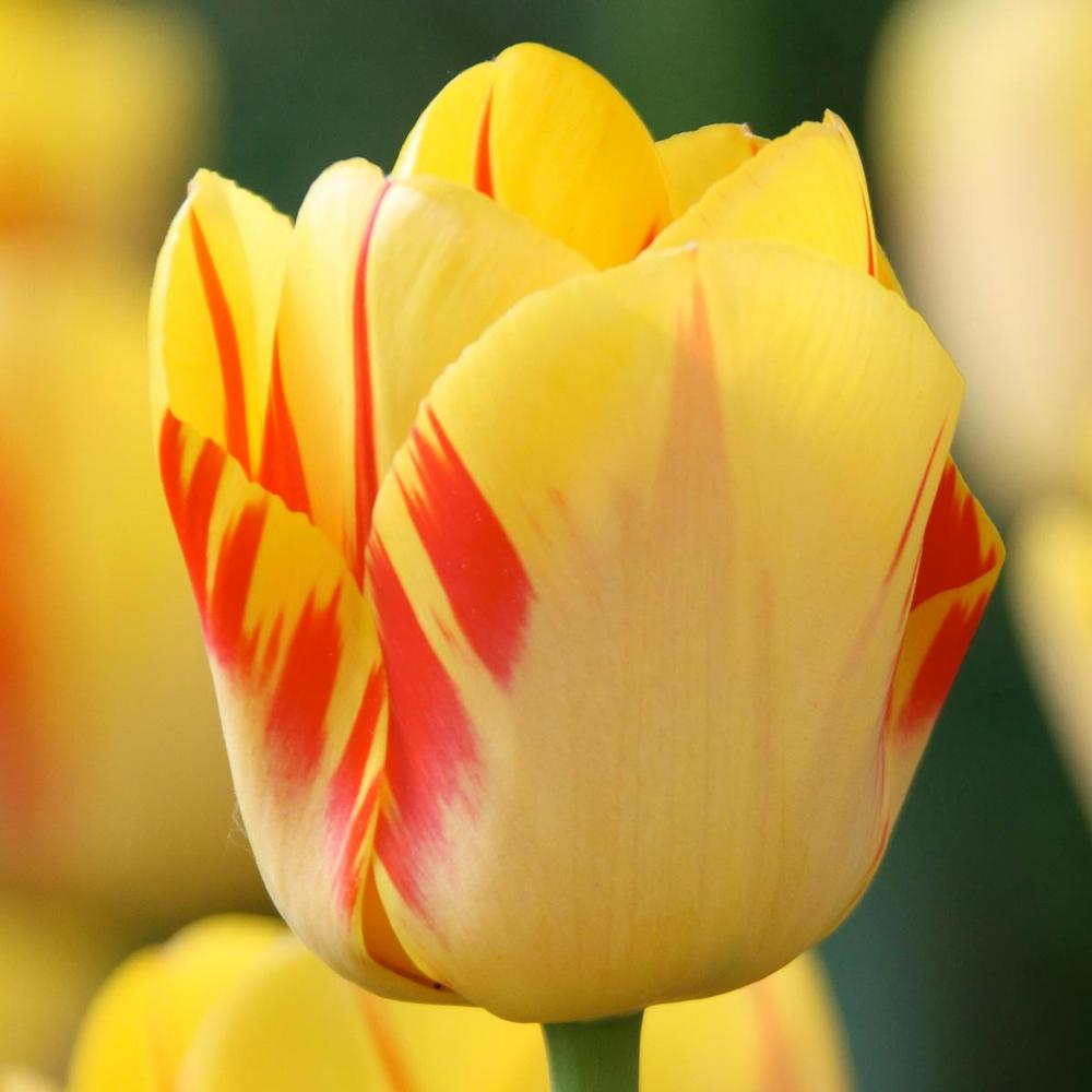 28 Spring Blooming Tulips Olympic Flame Tulip #OlympicFlameTulip #LongfieldGardens #Tulip #Spring #SpringBulbs #PlantSpringBulbs #FallisForPlanting #SpringGarden #Garden #Landscape #Organic