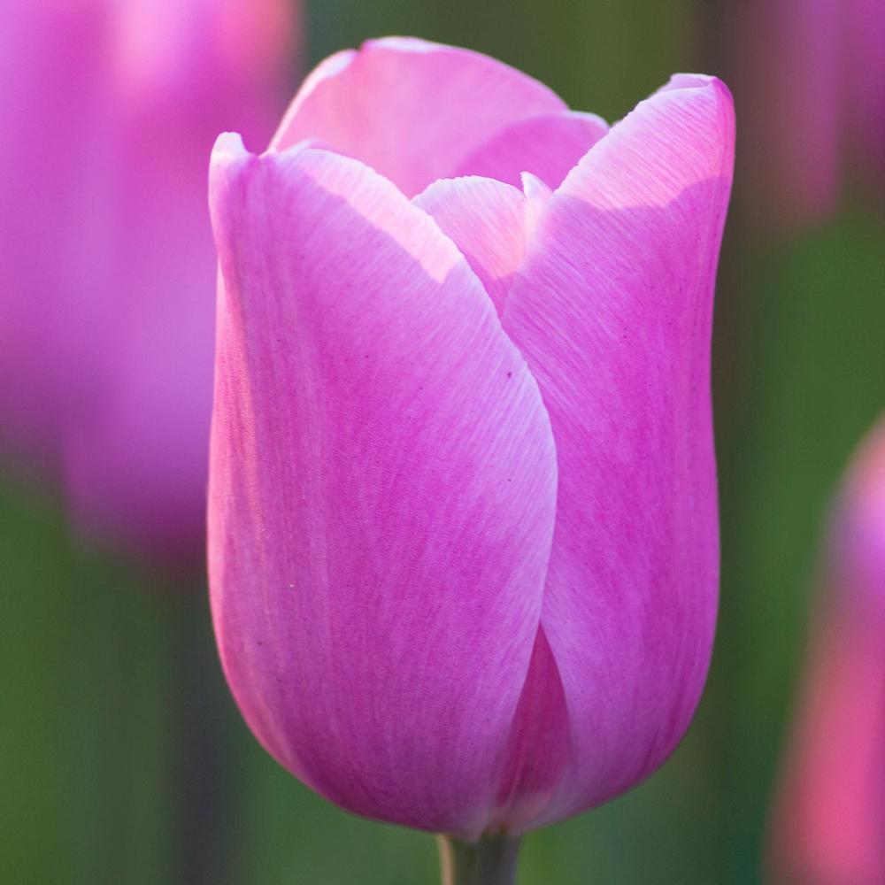 28 Spring Blooming Tulips Triumph Mistress Tulip #Tulip #Spring #SpringBulbs #PlantSpringBulbs #FallisForPlanting #SpringGarden #Garden