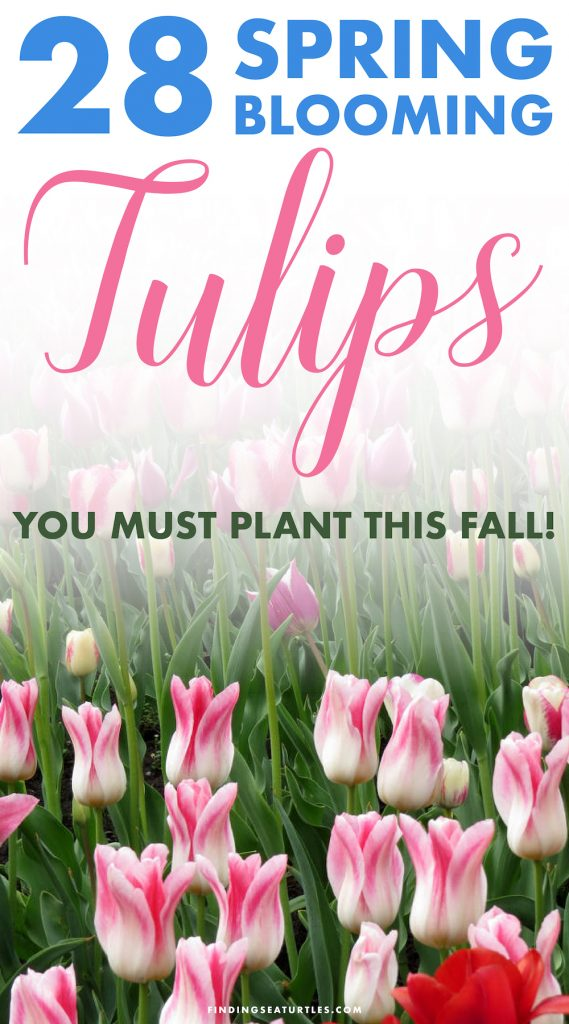 28 Spring Blooming Tulips #Tulips #Spring #SpringBulbs #BulbPlanting #FallPlanting #Gardening #Landscape #FallisForPlanting #WhiteFlowerFarm