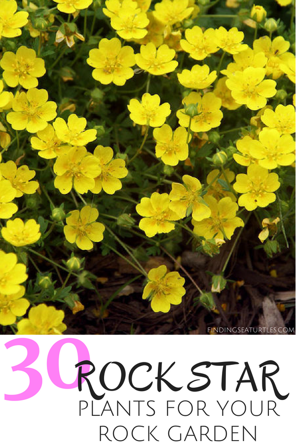 30 Rock Star Plants for your Rock Garden #RockGarden #GroundCover #FallisForPlanting #Garden #Landscape #Organic #SpringHillNurseries