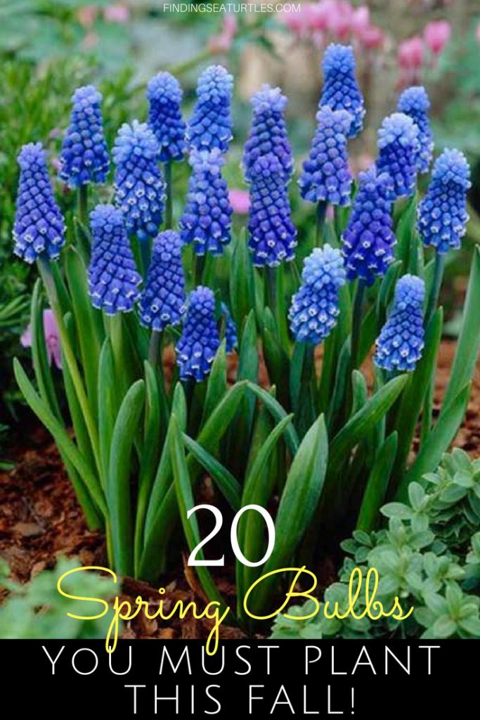 20 Sensational Spring Blooming Bulbs to Plant This Fall #Spring #SpringBulbs #PlantSpringBulbs #FallisForPlanting #SpringBlooming #SpringGarden #Garden #Landscape #Organic #BluestonePerennials #AttractsButterflies #DeerResistant #RabbitResistant #ContainerGardening