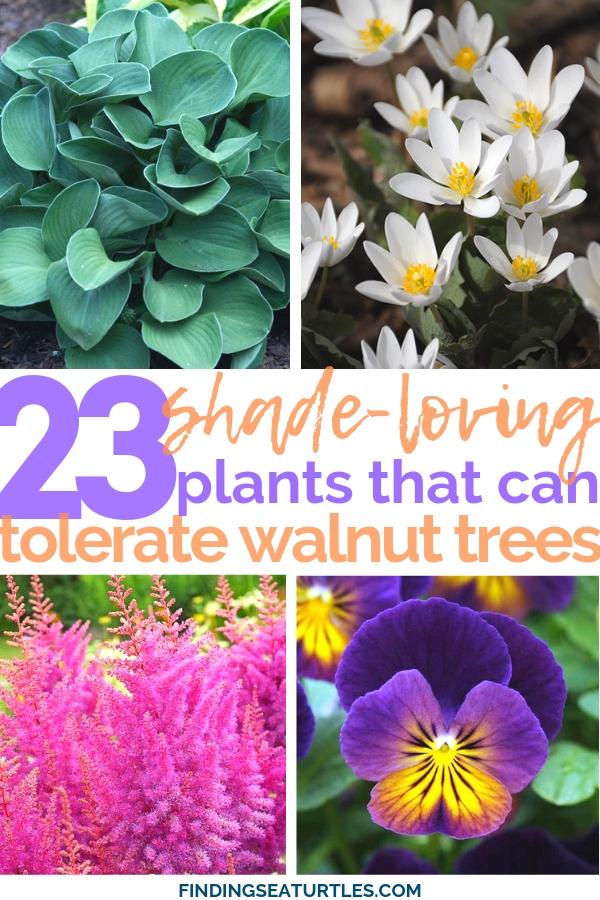 23 Juglone-Tolerant Shade Plants #GroundCover #ShadeTolerant #ContainerGardening #DeerResistant #RabbitResistant