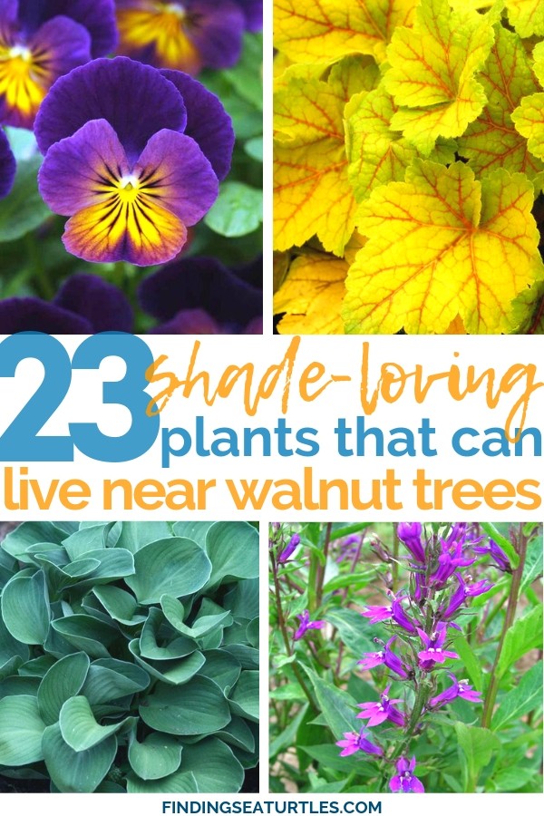 23 Shade-loving plants that can live near Walnut trees #GroundCover #ShadeTolerant #ContainerGardening #DeerResistant #RabbitResistant