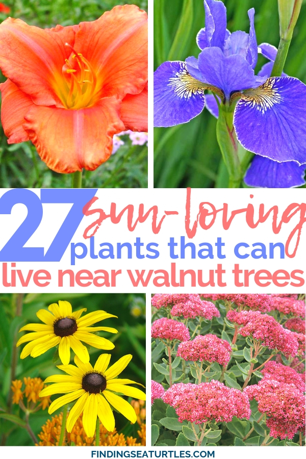 27 Sun-Loving Juglone-safe plants #juglone #walnutsafe #sungarden #gardeningtips