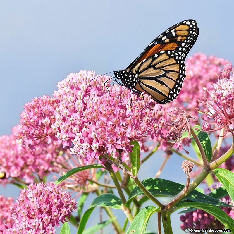 How to Create a Wildlife Sanctuary With Native Plants Asclepias Incarnata Soulmate Swamp Milkweed #Asclepias #Milkweed #AsclepiasSoulmateSwamp #NativePlants #AttractsBirds #AttractsButterflies #AttractsHummingbirds #AttractsMonarchButterflies #DeerResistant #Gardening #Garden #Landscape #SunLoving #SummerBlooming #Wildlife #WildlifeSanctuary #BeneficialPollinators #NativePlants