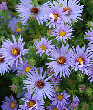 How to Create a Wildlife Sanctuary With Native Plants Aster Raydons Favorite #RaydonsFavoriteAster #Asters #NativePlants #Gardening #Garden #Landscape #SunLoving #FallBlooming #Wildlife #WildlifeSanctuary #BeneficialPollinators #NativePlants