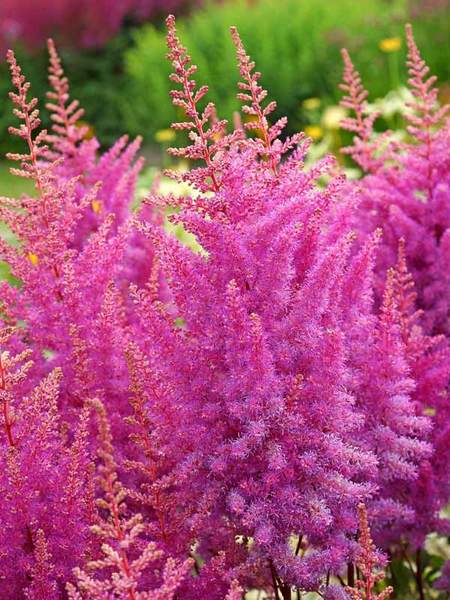 23 Juglone Tolerant Shade Plants Astilbe Nemo Perennial Spirea #Astilbe #AstilbeNemo #PerennialSpirea #ShadeTolerant #AttractsButterflies #AttractsHummingbirds #DeerResistant #RabbitResistant