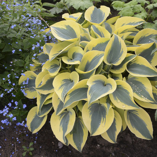 Ultimate Resource Guide to Gardening with Toxic Black Walnut Trees Autumn Frost Shadowland Hosta #Hosta #AutumnFrostHosta #ShadowlandHosta #Gardening #BlackWalnutTrees #JugloneTolerant