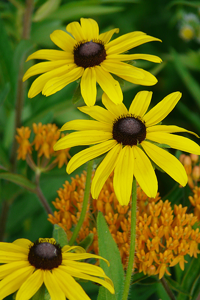 27 Juglone Tolerant Sun Loving Plants For Black Walnut Areas Black Eyed Susan Rudbeckia Hirta #BlackEyedSusan #Rudbeckia #DeerResistant #AttractsBirds #SunLoving #Perennials