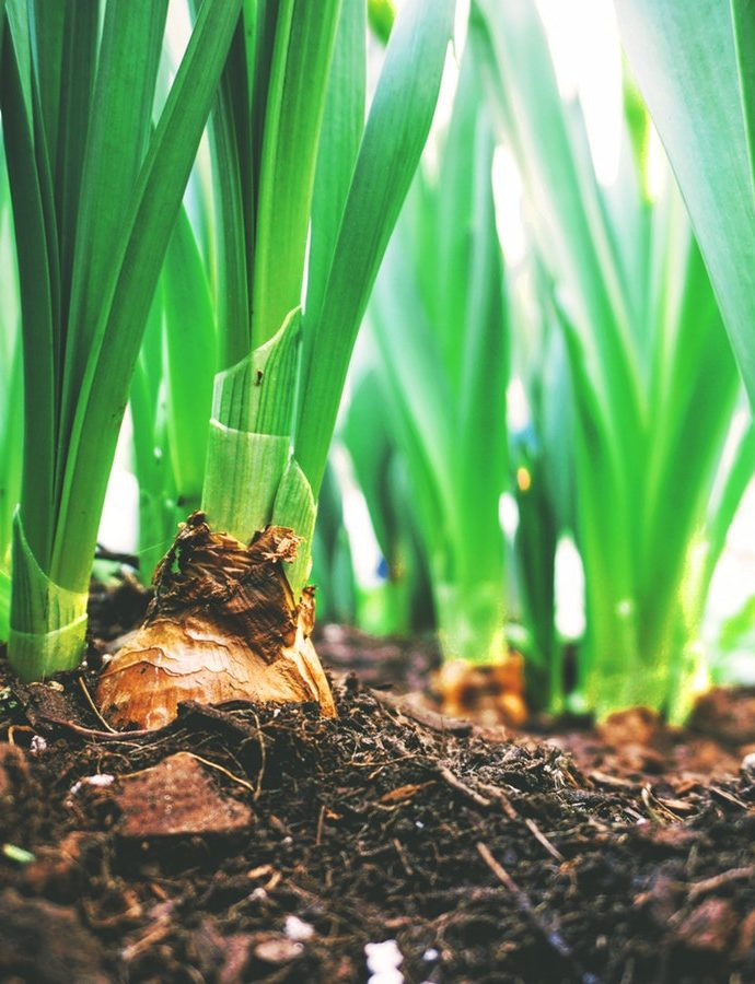 6 Essential Tools for Planting Spring Bulbs
