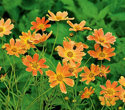 How to Create a Wildlife Sanctuary With Native Plants Coreopsis Sienna Sunset Or Tickseed #Coreopsis #SiennaSunset #Tickseed #Gardening #Garden #DeerResistant #Landscape #SunLoving #Native #Wildlife #WildlifeSanctuary #BeneficialPollinators #NativePlants