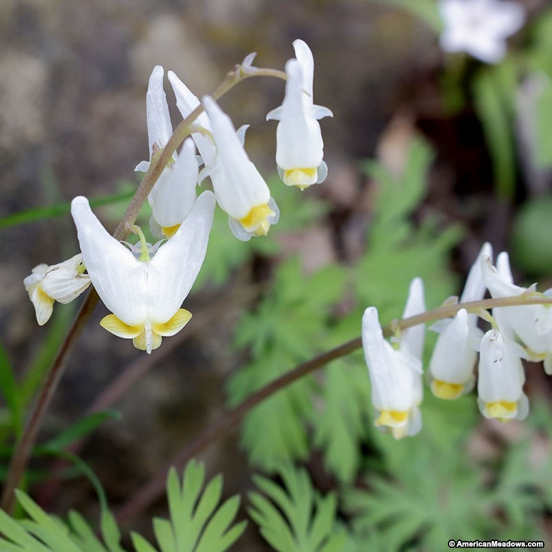 How to Create a Wildlife Sanctuary With Native Plants Dutchmans Breeches Or Dicentra Cucullaria #DutchmansBreeches #NativePlants #BeeFriendly #DeerResistant #RabbitResistant #Gardening #Garden #Landscape #ShadeTolerant #SpringBlooming #Wildlife #WildlifeSanctuary #BeneficialPollinators #NativePlants