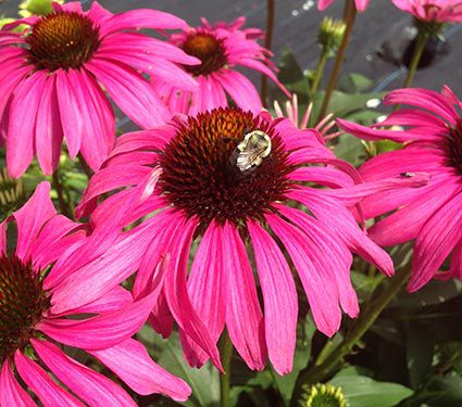 How to Create a Wildlife Sanctuary With Native Plants Echinacea Butterfly Purple Emperor Or Coneflower #Echincea #ButterflyEchincea #ButterflyPurpleEmperorEchinacea #Coneflower #NativePlants #AttractsBirds #AttractsButterflies #DeerResistant #Gardening #Garden #Landscape #SunLoving #SummerBlooming #Wildlife #WildlifeSanctuary #BeneficialPollinators #NativePlants