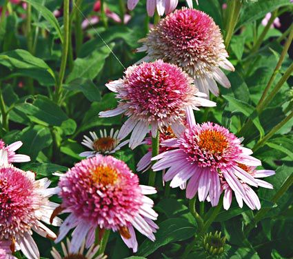 How to Create a Wildlife Sanctuary With Native Plants Echinacea Confections Butterfly Kisses or Coneflower #Echincea #ButterflyEchincea #ConfectionsButterflyKissesEchinacea #Coneflower #NativePlants #AttractsBirds #AttractsButterflies #DeerResistant #Gardening #Garden #Landscape #SunLoving #SummerBlooming #Wildlife #WildlifeSanctuary #BeneficialPollinators #NativePlants