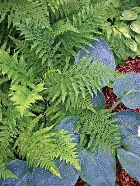 23 Juglone Tolerant Shade Plants Fern Lady #Ferns #LadyFern #ShadeTolerant #HumidityTolerant #DeerResistant #RabbitResistant