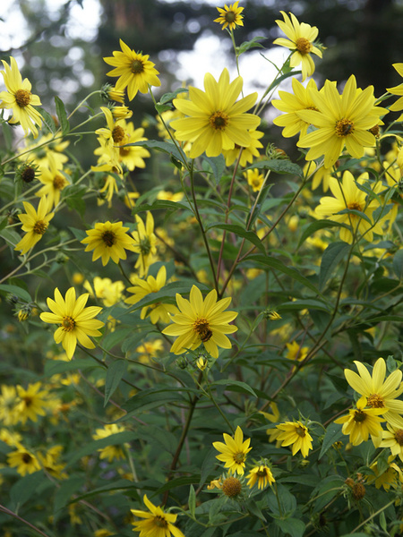 27 Juglone Tolerant Sun Loving Plants For Black Walnut Areas Helianthus Microcephalus or Perennial Sunflower #Helianthus #HelianthusMicrocephalus #Sunflower #Perennial #AttractsButterflies #CutFlowers #ContainerGardening