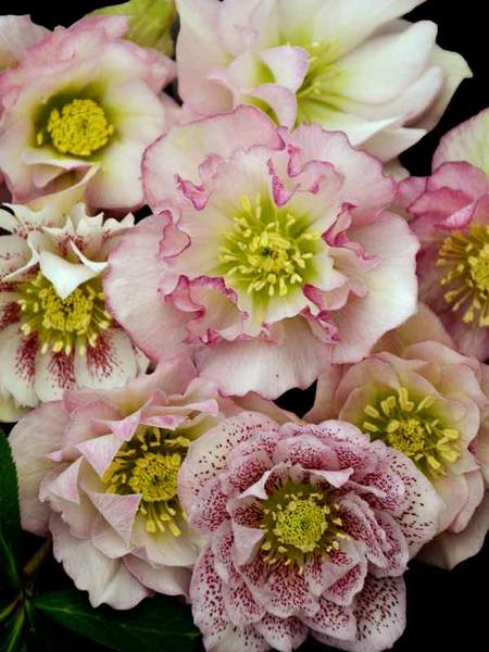 23 Juglone Tolerant Shade Plants Helleborus Flower Girl Or Lenten Rose #Helleborus #LentenRose #HelleborusFlowerGirl #Perennial #DeerResistant #RabbitResistant #ShadeTolerant #DryShadeTolerant #CutFlowers