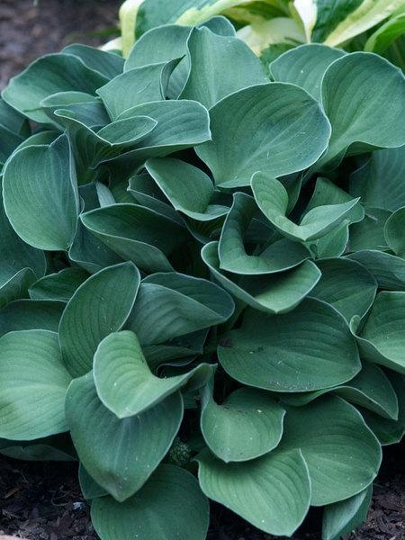 27 Juglone Tolerant Sun Loving Plants For Black Walnut Areas Hosta Blue Mouse Ears or Plantain Lily #PlantainLily #Hosta #HostaBlueMouseEars #ContainerGardening #AttractsHummingbirds #HumidityTolerant #ShadeTolerant #Perennials